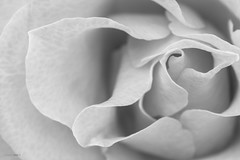 Gray skin (Daniel Kulinski) Tags: light shadow bw white black flower macro love monochrome lines rose closeup photography petals focus europe soft image daniel secret touch gray smooth creative picture samsung poland edge bloom layer layers 60mm delicate 1977 fragile photograhy selective edges pl nx greay pruszkw mazowieckie pruszkow samsungcamera nx1 kulinski samsungnx imageloger nx60mm danielkulinski samsungnx60mmf28 imagelogger samsungnx60mm samsungnx1 nx60mmf28