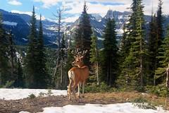 Kerry Neils - Deer in velvet