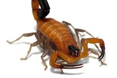 Rhopalurus junceus (Cuba) 5th instar (ScorpionsExplored) Tags: cuba scorpion venomous invertebrate buthidae