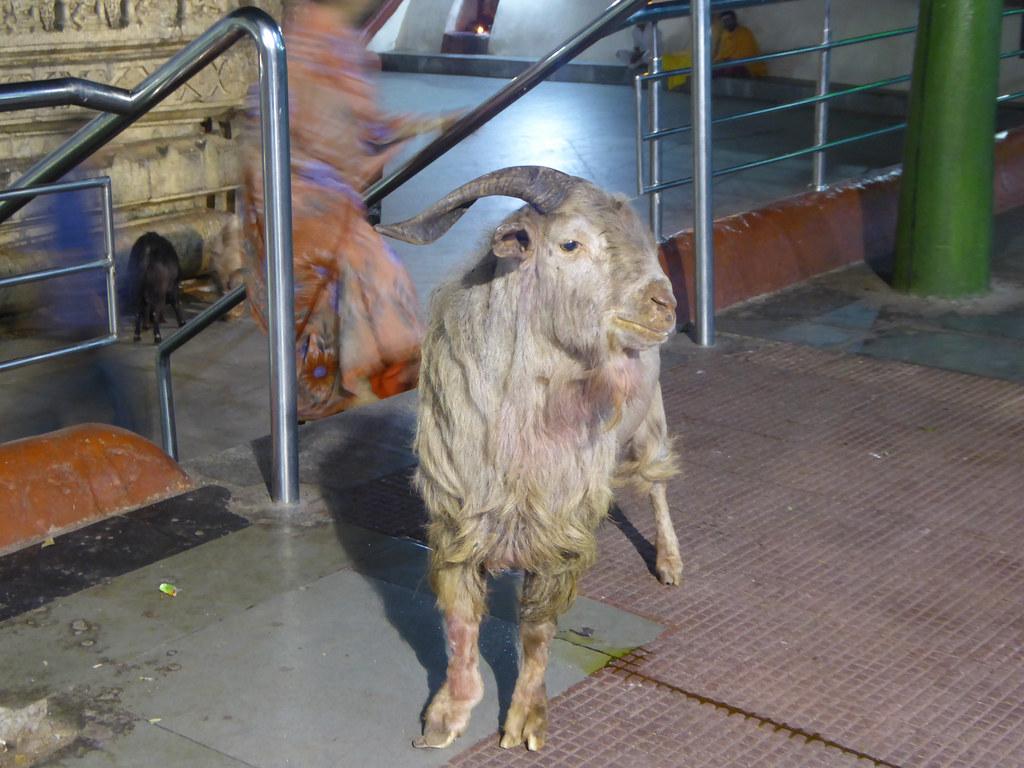 Temple goat
