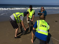 ESRM sandy beach monitoring El Capitan State Beach 05-20-15d
