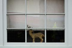 reindeer in window (dotintime) Tags: white window glass reindeer deer pane meganlane dotintime