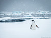 Lost Chinstrap Penguin (+Angus+) Tags: snow ice penguin antarctica snowing iceberg chinstrap