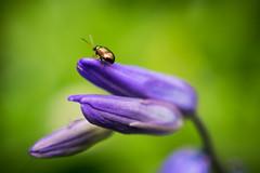 bluebells bug (kylecollardart) Tags: blue fauna bug sussex woods bell wildlife bluebell