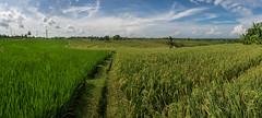 into the green (Karl-Heinz Bitter) Tags: bali panorama green clouds indonesia belt rice pano wolken reis kh ricefield reisfeld westbali reisterrassen khbitter