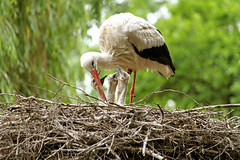Baby Stork (Nicola G. Fotografie) Tags: baby nest young stork storch ciconia strche storchennest jungvgel jungtiere