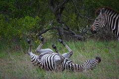 Suedafrika-36 (Lukas P Schmidt) Tags: nationalpark zebra krugerpark