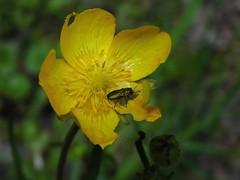 Kwietniczek dwojaczek / Anthaxia nitidula (boguo) Tags: coleoptera buprestidae