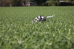 Mit Herrchen Spaß haben (blumenbiene) Tags: dog white playing black game dogs female walking fun meadow wiese hund schwarz dalmatian hunde spaziergang spielen dalmatiner weis hündin