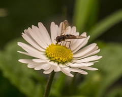 Episyrphus Balteatus su Pratolina (Bellis perennis) (Sergio Dini) Tags: lumix bellisperennis episyrphusbalteatus margheritina pratolina gx1 pratolinacomune lumixgx1 sergiodini