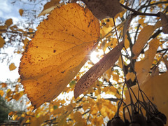 Otoo2 (mauro.tch) Tags: autumn winter orange cold color leaves leaf nikon coolpix otoo