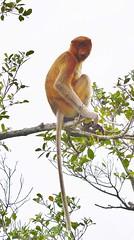 Proboscis monkey (Nasalis larvatus) DSC_3815 (JKIESECKER) Tags: people brown green animals sumatra indonesia wildlife borneo biodiversity indigenouspeople tropicalrainforest tropicalforest peopleandnature tropicalbiodiversity