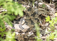 Rattlesnake in the Shadows (Jim-B-1979) Tags: nature reptile tennessee rattlesnake venomous basking crotalushorridus pitviper herping
