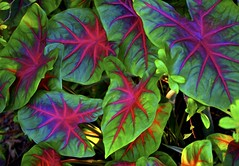 colorful leaves of Africa (Pejasar) Tags: color vibrant ghana westafrica africa