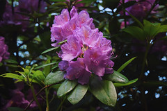 Rhododendron. (MisterSifter.) Tags: flowers summer flower nature colors outdoors photography spring nikon colorful fotografie blossom outdoor natur colorphotography bloom summertime blüte springflowers blooming blüten naturephotography natureshots blühen checkthisout naturfotografie summerviews outdoorphotography nikonphotography blossomphotography eyeforphotography nikond5300 naturebestshots