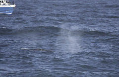 Gray Whale Spray (dcnelson1898) Tags: california northerncalifornia outdoors photography coast nikon highway1 pacificocean marinemammal fortbragg mackerricherstatepark graywhale mendocinocounty