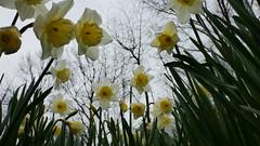 Spring 2016 (Pierre Pattipeilohy) Tags: flower fleur spring groen purple crocus blad lente narcis krokus vers jong narcissus bloem pierrepattipeilohy