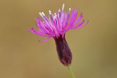 Centaurea sp. - Flockenblume (unkel.unterwegs) Tags: pink flower pflanzen blumen greece makro griechenland ros centaurea korinthia flockenblume stymphalia