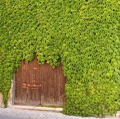 Green invasion (SoleTempesta) Tags: door italy verde green nature leaves foglie italia natura doorway porta invasion umbria legno portone invasione soletempesta