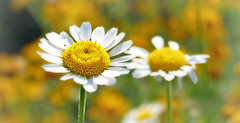 You are my sunshine!  (Through Serena's Lens) Tags: summer white plant nature sunshine yellow closeup oregon bokeh outdoor depthoffield sunflower wildflower asteraceae woolly eriophyllum lanatum pursh