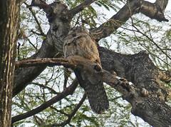 Northern Potoo (Nyctibius jamaicensis) (Francisco Piedrahita) Tags: birds aves jamaica northernpotoo nyctibiusjamaicensis