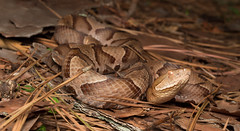 Copperhead (commercialam3n) Tags: macro nature field zeiss canon rebel reptile snake snakes herpetology copperhead herping t5i