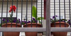 Flower Pots (marylea) Tags: may28 2016 petunias flower pots flowerpots cannalilies cannalily