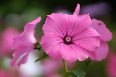 *** (pszcz9) Tags: polska poland przyroda nature kwiat flower zblienie closeup bokeh beautifulearth sony a77 natura