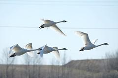 DSC_1421 (KevinYMa) Tags: bird nature tundraswan