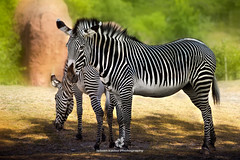 Grevys Zebras (Equus grevyi) (fesign) Tags: animal animalbehaviour colourimage day feeding fulllength grass grevyszebra hoovedanimal horizontal horse horsefamily lookingatcamera mammal nopeople nonurbanscene outdoors photography sidebyside sideview standing treearea twoanimals zebra