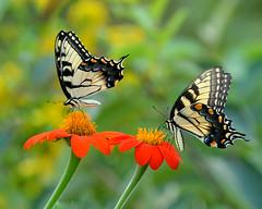 AFC_4897_8x10 (thorntm) Tags: mexicansunflower yellowtigerswallowtail butterfly t16081501 mdtpix nikond800 vividstriking