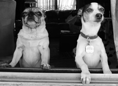 Beyond the Window. (Douglas H Wood) Tags: pug jackrussell photography dreams 2014 friendship dogs bw home williams arizona