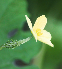 Nirav Patel (nau students' photo critic forum) Tags: niravpatel nau 201617 plant veggie bitter gourd flower nature