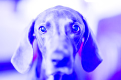 that's my face when i want something from the kitchen (VanaTulsi) Tags: dog weimaraner weim blueweimaraner vanatulsi blueweim