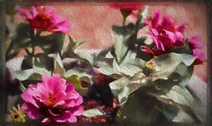 Zinnia (II) (gtncats) Tags: flowers texture nature blossoms blooms zinnias macrolens aoi ef100mm ef100mmmacrolens topazlab canon70d photographyforrecreation infinitexposure topazimpression