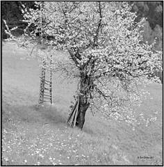 Cherry blossom_Hasselblad (ksadjina) Tags: 6x6 film analog austria blackwhite scan rodinal hasselblad500cm silverfast 6min kodak100tmax nationalparkhohetauern nikonsupercoolscan9000ed grosglocknerhochalpenstrasse