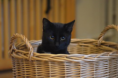 Billys basket (The Happy Household) Tags: life family dog brown white playing black color love face fauna blackcat jack fun living kitten play brothers russel buddy terrier foster billy laughter six jackrussel sixmonths whitelegs familymember fostercare threecoloreddog jackruseel