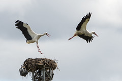 hvid stork-22 (S. Nysteen) Tags: spain extremadura whitestork ciconiaciconia hvidstork saucedilla