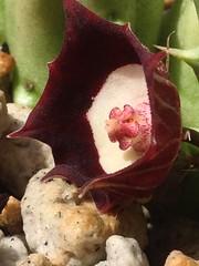 Huernia oculata (Reggie1) Tags: succulent oculata huernia asclepiad huerniaoculata