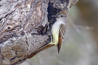 Ash-throated Flycatcher Brings A Grasshopper