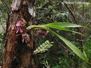 Mormodes variabilis Rchb.f. (Distribución : Colombia, Venezuela y Ecuador desde 900 hasta 1800 m snm), sobre arbol de Tibouchina sp. in situ, Risaralda, Colombia
