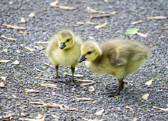 Goslings (Pauline Brock) Tags: cute nature geese spring goose fluff goslings gosling waterfowl babygeesecanadageesecanadagoslingbird
