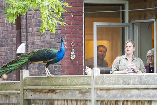 Peacock on the loose #3