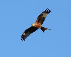 CANON EOS 5D MARK 3 (gius_mar2014) Tags: canon uccelli avifauna nibbio voli rapaci canon400mmf56 nibbiobruno nibbioreale canon5dmark3