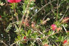 IMG_4761 (californiajbroad) Tags: bird finch housefinch