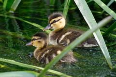 _F0A8033.jpg (Kico Lopez) Tags: birds rio spain aves galicia lugo mio anasplatyrhynchos anadeazulon