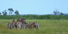 Grazing Zebra (leendert3) Tags: ngc npc burchellszebra