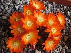 Rebutia heliosa (Resenter89) Tags: flowers red cactus orange yellow cacti grasse cactaceae piante kakteen rebutia succulente cactacee heliosa