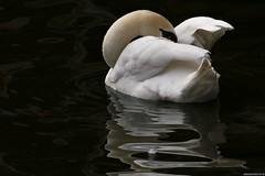 Swan Dream (Nemodus photos) Tags: swan cygne animaladdiction fz1000
