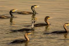 Team Cormorant (malc1702) Tags: nature birds wildlife cormorant sanctuary migratorybirds largebirds birdsinwater nikond7100 tamron150600